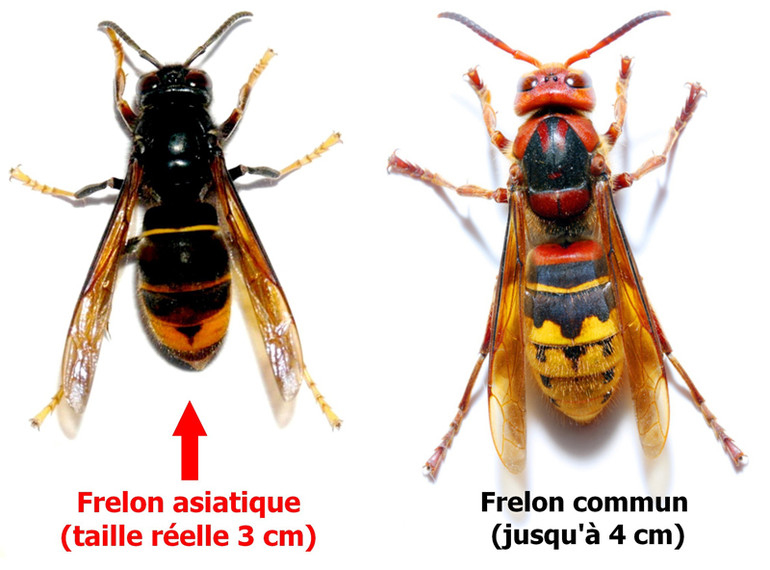 comparatif frelon asiatique et frelon commu