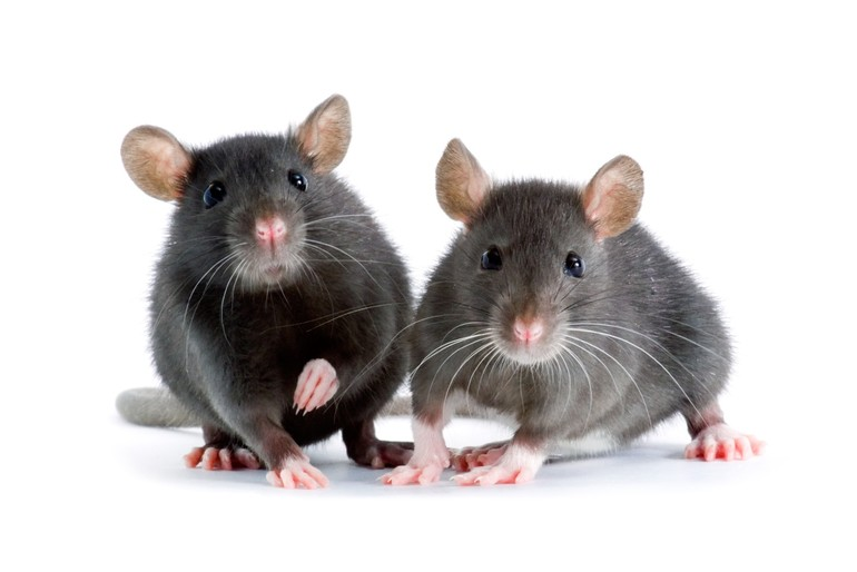 two little decorative rats on white background